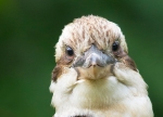 01kookaburra-face1