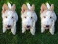 clonesdog