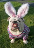 easterbulldog