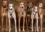 greyhound group